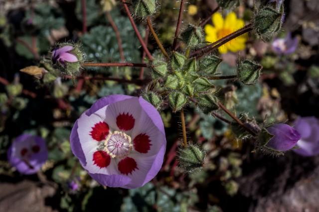 5-spot-eremalche-rotundifolia-b