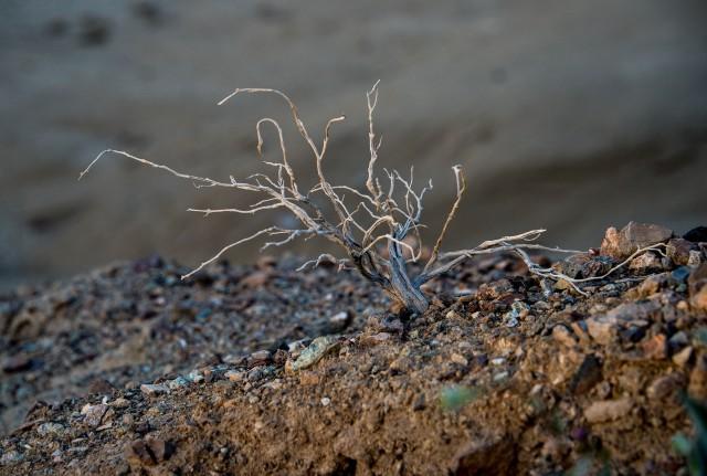 dead-shrub-b