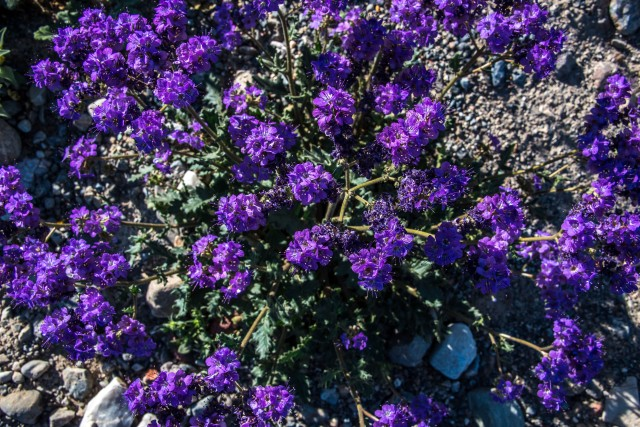 death-valley-phacelia-phacelia-vallis-mortae-b