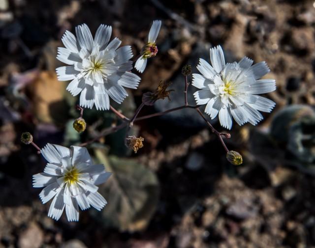 gravel-ghost-atrichoseris-platyphylla-b