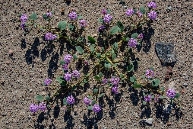 sand-verbena-abronia-villosa-ii-b