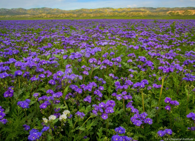 Wildlfowers Carrizo Plain