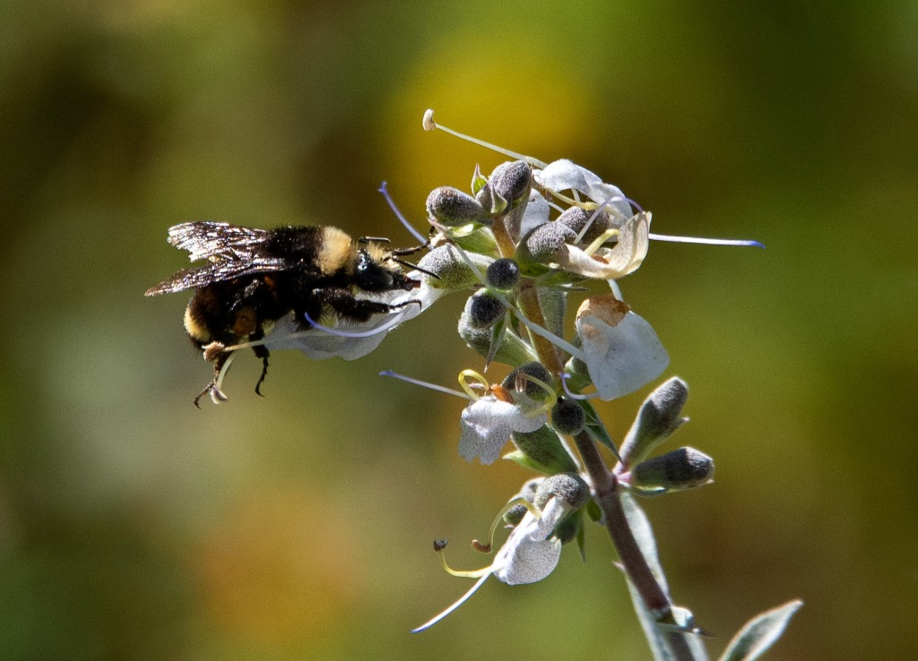 Bumblebee-1b