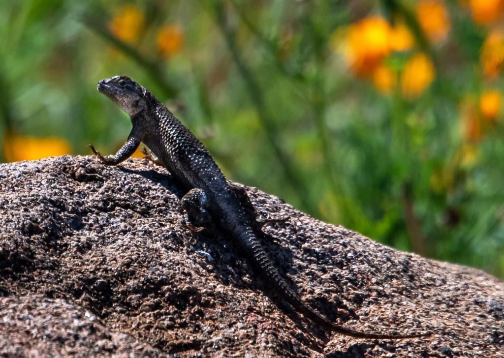 Lizard-1b