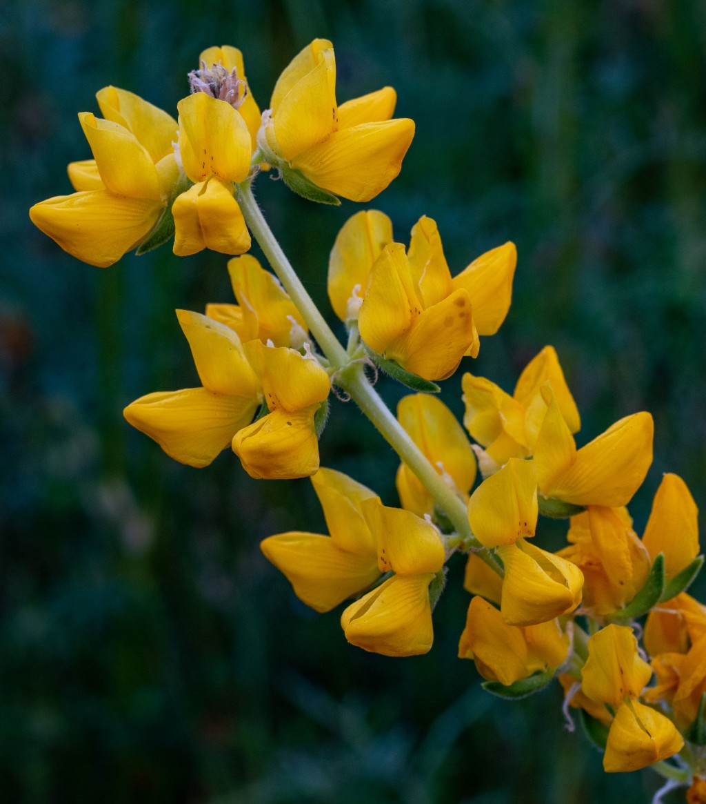 Yellow Lupine-1b