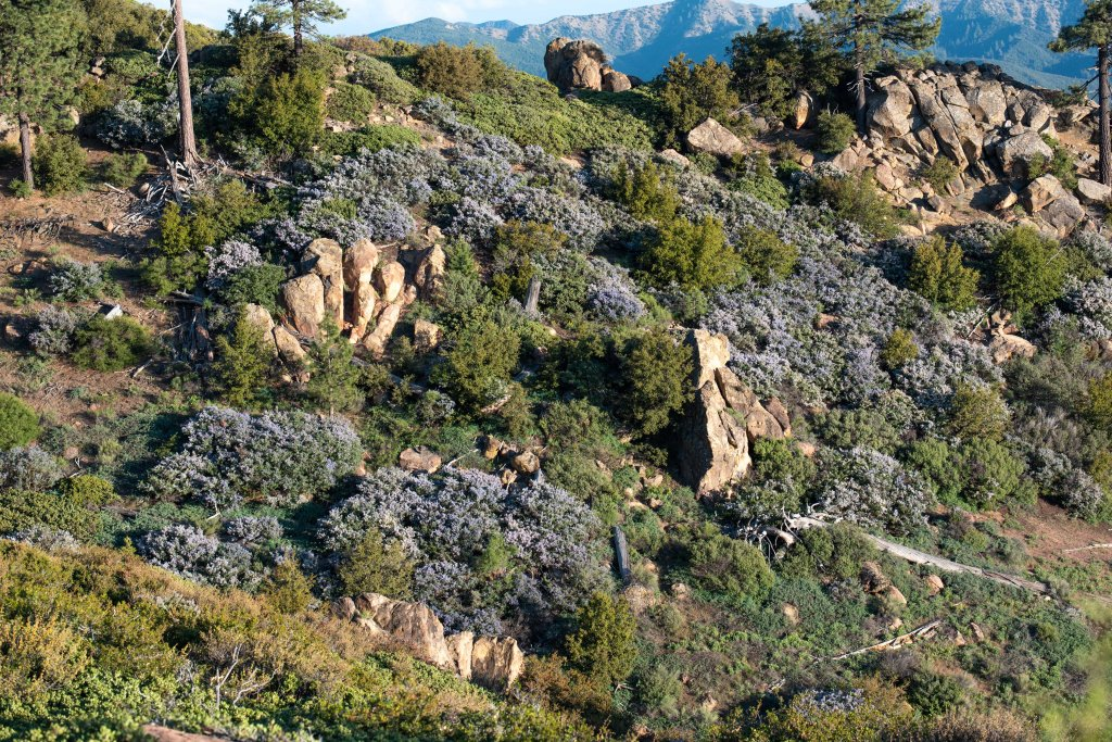 Chaparral Adjacent to Jeffrey Pine Stand_Pine Mountain_Bryant Ba